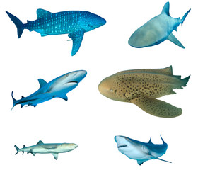 Shark species collection isolated. Whale Shark, Bull Shark, Caribbean Reef, Leopard (Zebra), Whitetip and Grey Reef Sharks on white background