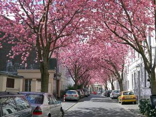 Famous cherry blossoms blooming sakura festival