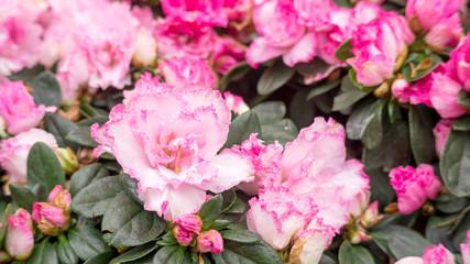 Pink Azalea flower in a garden.