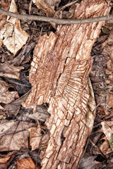 Tree bark with the  ways of wood-worm