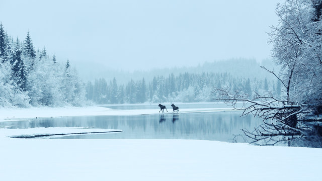 Two mooses crossing the lake Selbu in Norway, in the foggy winter day.