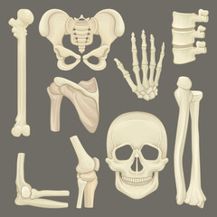 Parts of human skeleton. Skull, pelvic girdle, hand, humerus, lumbar spine, shoulder blade, knee joint. Flat vector for anatomical or medical book