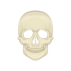 Structure of human skull - bony part of head. Cartoon icon in flat style. Braincase of modern homo sapiens. Front view. Detailed anatomical illustration.