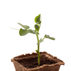 Young pea seedling