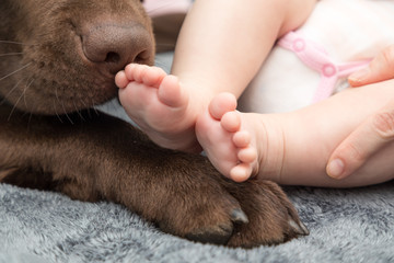 little baby foot with labrador