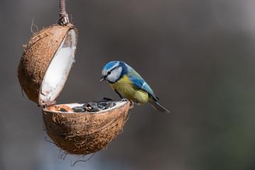 Eurasian blue tit (Cyanistes caeruleus or Parus caeruleus) taking nuts from bird feeder