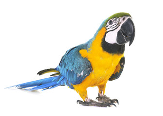 Poster Perroquets Blue-and-yellow macaw in studio