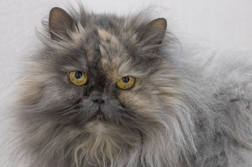 Persian cat smoky color looks into the camera close up