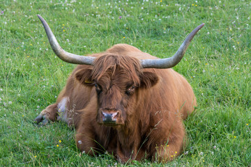 Highland Cattle bull with large horns lying in the green grass