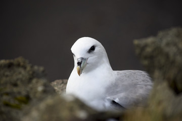 seagull in iceland