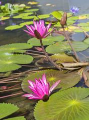 Водяная лилия лиловая
