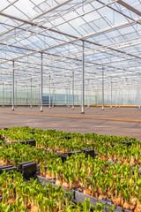 Spring flower bulbs in a Dutch greenhouse