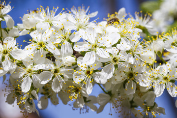 Spring flowers series: Close-up of a Cherry Plum tree. against the blue sky