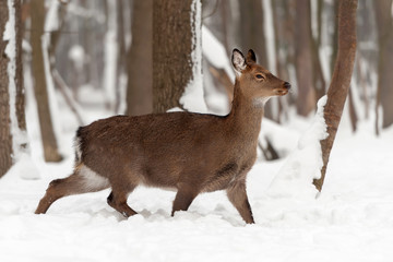 Wall Mural - Red deer in winter forest