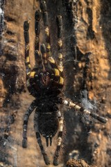 Large tarantula closeup photo