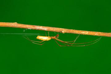 Long leg spider , Aarey Milk Colony