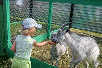 Little girl feeding goats in the zoo