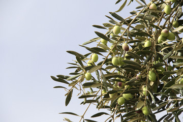 Ripe green olives on olive tree