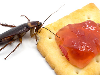 Close up cockroach on the Biscuit with red jam.Cockroach eating Biscuit on white background(Isolated background). Cockroaches are carriers of the disease.