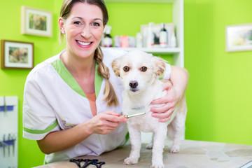 Woman is examining Dog for flea at dog parlor