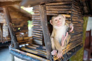 Little monkey in bamboo house.
