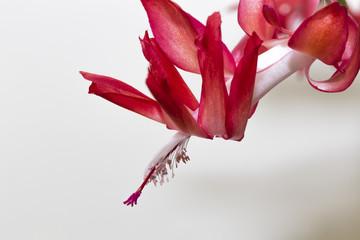 The Christmas Cactus Flower