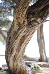 Sabina Trees