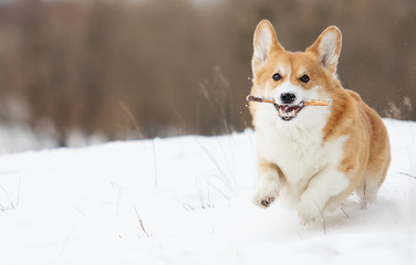 welsh corgi dog running outdoors in the snow
