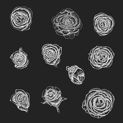 Flowers set. Hand drawn rose vector