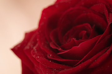 wet red rose flower closeup