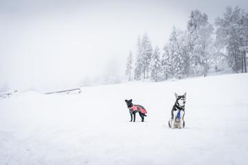 Husky im Winterurlaub
