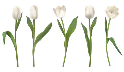 Set of red realistic vector tulip flowers. Elements floral decor for a greeting card women day or mother day. Buds and leaves of different shapes. Isolated on white background.