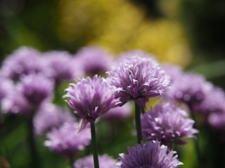 Violet flowers of ornamental garlic in the morning sun.