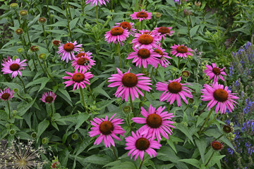 Echinacea purpurea 'Fatal Attraction' growing in a flower border
