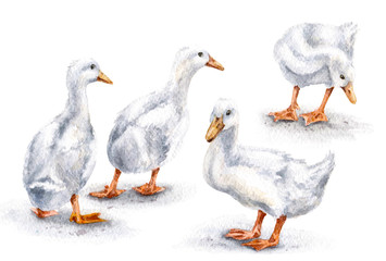 Group of White Ducks