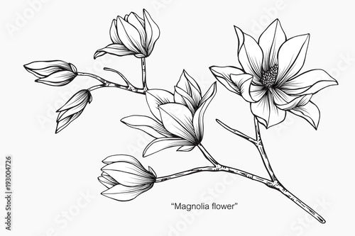 Magnolia Flower Line Drawing : Quot magnolia flower drawing illustration black and white