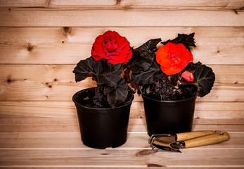 Red and orange seedlings begonia flowers and garden tools on wooden background