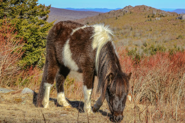 The Wild Pony of the Grayson Highlands