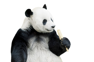 Keuken foto achterwand Panda Giant panda eating bamboo isolated over white