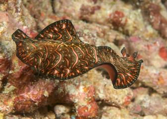 Persian carpet flatworm ( Pseudobiceros bedfordi ) swimming over coral reef  of Bali, Indonesia