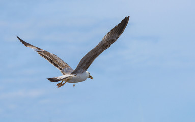Flying See gull with funny appendix