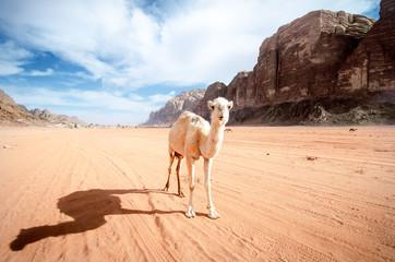 Camel on a desert in Jordan national park - Wadi Rum desert. Travel photoshoot. Natural background.
