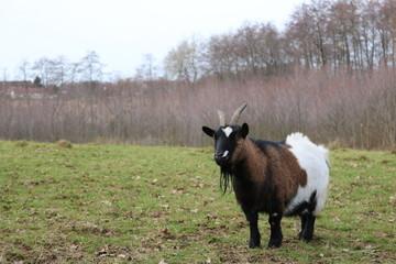 chèvre dans une pré