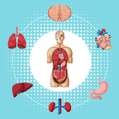 Human organs on blue background