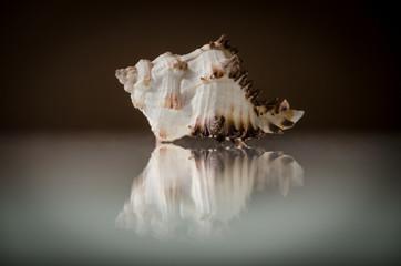 Sea shell reflection