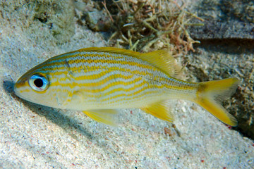 Goldspot Seabream, Gnathodentex aureolineatus, young ocean and sea tropical fish