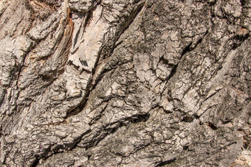 Close up aged cracked Old tree elm ulmus poplar wooden vintage b
