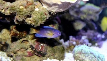 Yellow tail damsel fish