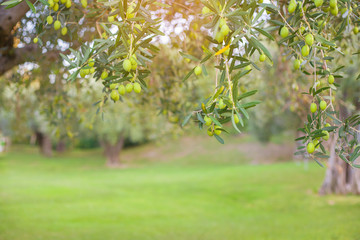 The branches of the olive tree with fruit in the foreground.