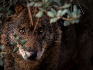 Iberian Wolf (Canis lupus signatus) hidden in the bush